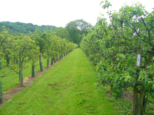 Ampleforth's famous & important cider apple orchard, with many rare varieties.
